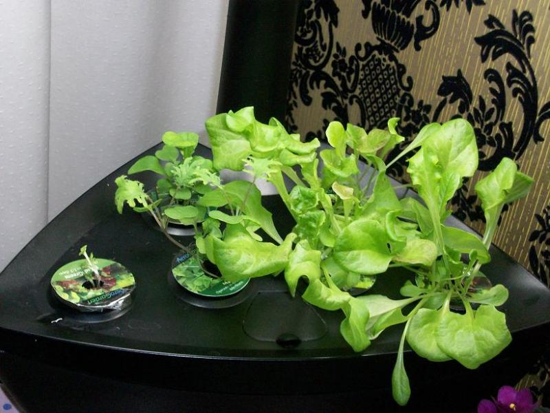 Week 2 with 1 week old Gradn Rapid lettuce in Rockwool